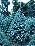 25 Semillas de Abeto Azul (Evergreen Colorado, Blue Spruce, Picea pungens)