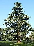 FERRY Semillas orgánicas única No Plantas: Semillas 4100: Deodara Cedar, (Himayan Cedar), Cedrus deodara, Semillas (fragante Hoja perenne)