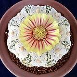 100 Semillas 10 Colores de Cactus Diferentes