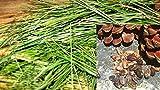 ANVIN Las Semillas del Paquete: X Semilla: .Oz Pino Semilla Semillas o esquejes Pinus pinea Pinus Pinaster