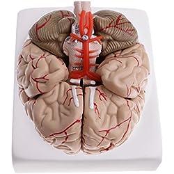 Modelo con Arterias del Cerebro Humano divisible en 9 Partes