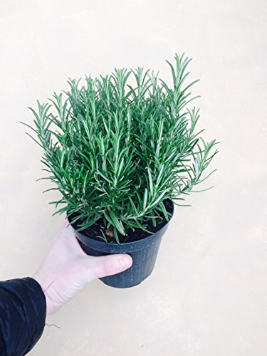 Large Rosemary herb Plant in a 2litre Pot, Upright Evergreen Plant