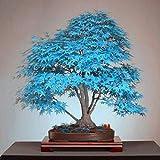 DNelo Semillas Plantas Semillas 30Pcs Árbol de Arce Japonés Acer Palmatum de Plantas de Jardín Bonsai Decoración - Semillas Azul Claro del Árbol de Arce