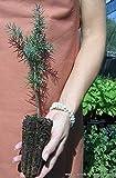Portal Cool Las semillas del paquete: Cedrus atlantica Alveolo 1 1 semillas semillas de cedro Off'Attlante Conífera