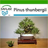 SAFLAX - Pino negro japonés - 30 semillas - Con sustrato - Pinus thunbergii