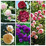 100 rosiers grimpants Seeds, 5...