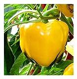 PREMIER SEEDS DIRECT - Sweet Pepper - ASTI Yellow - 150 Finest Seeds