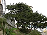 VISA STORE Monterey, Cupressus macrocarpa, 100 semillas de siembra (Evergreen, Bonsai, Topiary)