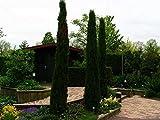 FERRY Semillas orgánicas única No Plantas: 2.400 Semillas: en columnas Estrecha Itian, Cupressus sempervirens, Semillas
