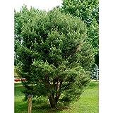 Go Garden 25 Semillas: Las semillas japonesas Rojo Pino, Pinus densiflora
