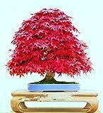 Tree Seeds Online - Acer Palmatum. Japonés Rojo Arce. 10 Semillas - 1 Paquete