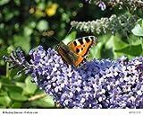 3 Stück Buddleja davidii 'Empire Blue' - (Sommerflieder - Schmetterlingsflieder 'Empire Blue')- Topfware 8-12 cm