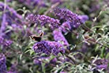 Hängender Schmetterlingsflieder 60 - 100 cm