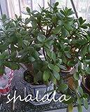 ! 2019 Trago de Palm Bonsai Planta Fresca Jade RARA Bonsai Bonsai suculento de la Flor de Bonsai Fácil Cuidado de Las Plantas 100PCS: 2