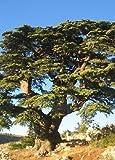 Tropica cedro nordafricano Atlas (Cedrus atlantica) - 20 semillas