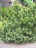 TOMHY Germinación de Las Semillas PLATFIRM-5 Semillas de Pinus Mugo Mugo mughus Pino de Semillas: Paquete