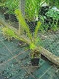 Portal Cool Las Semillas del Paquete: Pinus sylvestris - Pino Silvestre En 7Cm Pot Ideal Bonsai Asunto
