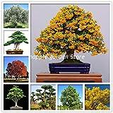 GETSO 30 PC RARA Planta del árbol de Ceniza Fraxinus chinensis Jardín Bonsai Ornamental China Árbol de Hoja caduca Planta BAI La Shu de Tiesto: Mezcla