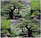 AGROBITS (10) Japonés semilla roja del árbol de pino - Pinus Densiflora - Japonés árbol Bonsai