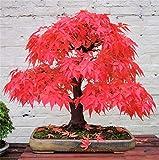 AUTFIT semillas de arce 20pcs arce rojo japonés semillas Japanese seeds para bonsai, balcón, jardín (Acer palmatum Thunb)
