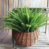 Kicode 7 Ramas Espárrago verde helecho Hierba planta de la flor de Bonsai de jardín suculenta del desierto de hierba pai
