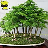 Pinkdose Chino hermoso de enebro, 50 semillas/paquete, Juniperus chinensis Bonsai, Cedro Rojo del Este para purificar el aire para el hogar