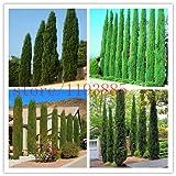 semillas del árbol 100 unidades Ciprés italiano (Cupressus sempervirens stricta) cultivar un huerto casero