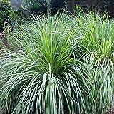500pcs graines de citronnelle pour la croissance des plantes anti-moustiques