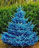 AGROBITS 30 piezas/bolsa de árboles de abeto azul, semillas de bonsái de picea azul, Pa pungens Semillas de hoja perenne ornamental árbol en maceta de jardín de casa