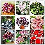 GETSO 100 Piezas de Flores coleo Raras Bonsai Plectranthus scutellarioides perennes Interiores Plantas con Flores Coloridas Potte Plantas de Hierba de la Hoja: Mezcla