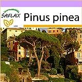 SAFLAX - Pinos piñoneros - 6 semillas - Pinus pinea