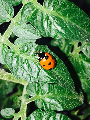 Live ladybirds-natural pest control (25)