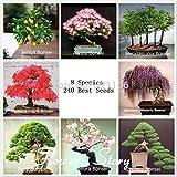 Go Garden Nueva y Fresca Bonsai Paquete 8 Paquetes de Semillas de Pino Ãrbol de los bonsais del Arce Bonsai 250+