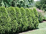 Americana de Tuya, Thuja occidentalis, semillas de árboles (Evergreen) Hedge 50pcs