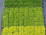 Importados 20pcs / bag musgo irlandés Semillas Sagina subulata Semillas Mox Moss casera de las semillas del jardín creativo Guarnición de la planta DIY liberan