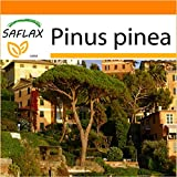 SAFLAX - Garden in the Bag - Pinos piñoneros - 6 semillas - Pinus pinea