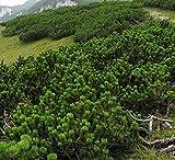 Semillas de pino Mugo - Pinus mugo