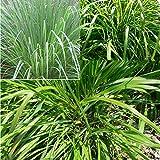Semillas de hierbas Semillas de hierba de limón Plantas Home Garden Yard Decoración Semilla - 100 piezas