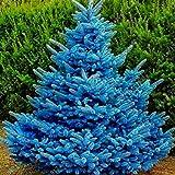 Vito546rton 20 Piezas Adaptables Colorado Sky Blue Spruce Hardy Picea Pungens Glauca Tree Seeds Fácil De Cultivar Home Garden Decor Colores