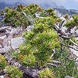 Semillas de pino mugo - Pinus mugo - 40 semillas