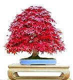Cuir Dor - Semillas Arce Japonés Bonsái, 20 PCS Acer palmatum