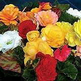 Begonia Destiny 12 Mega Plants - Mixed Colours (12-)