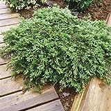 Portal Cool Las Semillas del Paquete: 40-50cm: Enebro rastrero 'Alfombra Verde' Juniperus communis. Cubierta de Tierra Diferentes tamaños