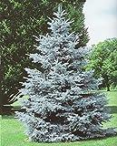 0,5 gr Semillas Picea del Colorado (Picea Pungen) (S)