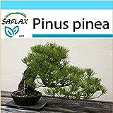 SAFLAX - Set regalo - Pinos piñoneros - 6 semillas - Pinus pinea