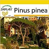 SAFLAX - Set de cultivo - Pinos piñoneros - 6 semillas - Pinus pinea