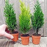 Inovey 50 Pcs Ciprés Italiano Semillas Cupressus Sempervirens Home Garden Bonsái Plantación Semillas