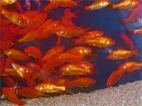 小赤 エサ金(3~4cm前後) 100匹