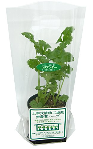 土耕式植物工場産無農薬ハーブ コリアンダー 7.5cmポット 3本植え