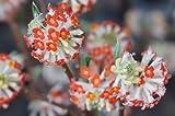 赤花ミツマタ(三又)根巻き苗 庭木 低木